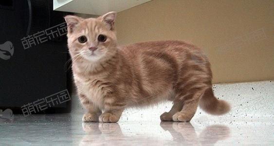 曼切堪猫性格怎么样?